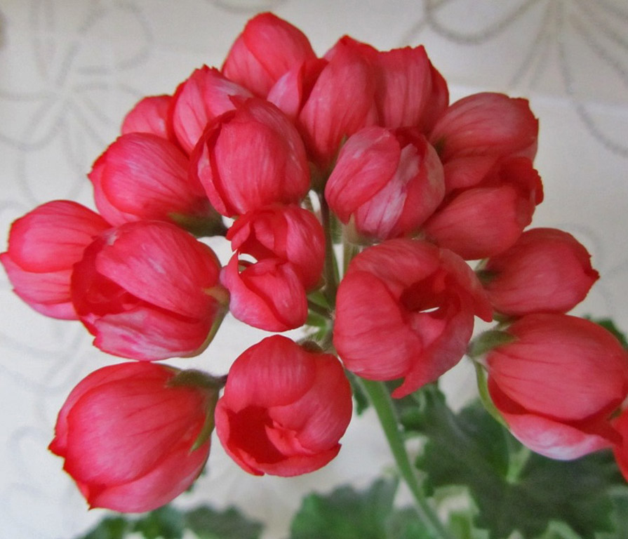 Цветы герани тюльпановидной