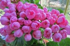 Pink Pandora