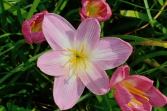 Zephyranthes Indonesia Fadjar Marta