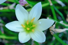 Zephyranthes. Fairy lily