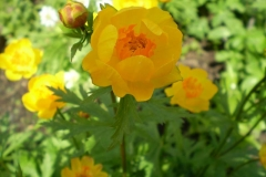Trollius hybr. Orange Crest