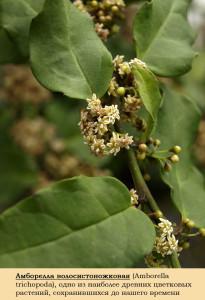 Древнее цветковое растение Amborella