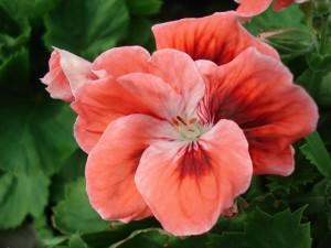 Пеларгония королевская Mandarin