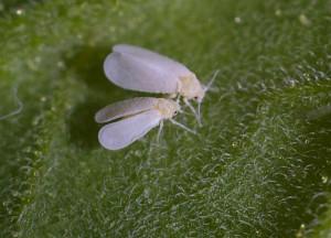 Белокрылка (Aleyrodidae)