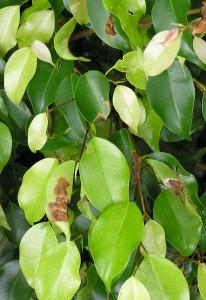 Болезни листьев фикуса