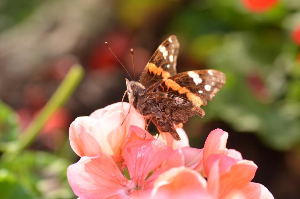 Герань бабочка