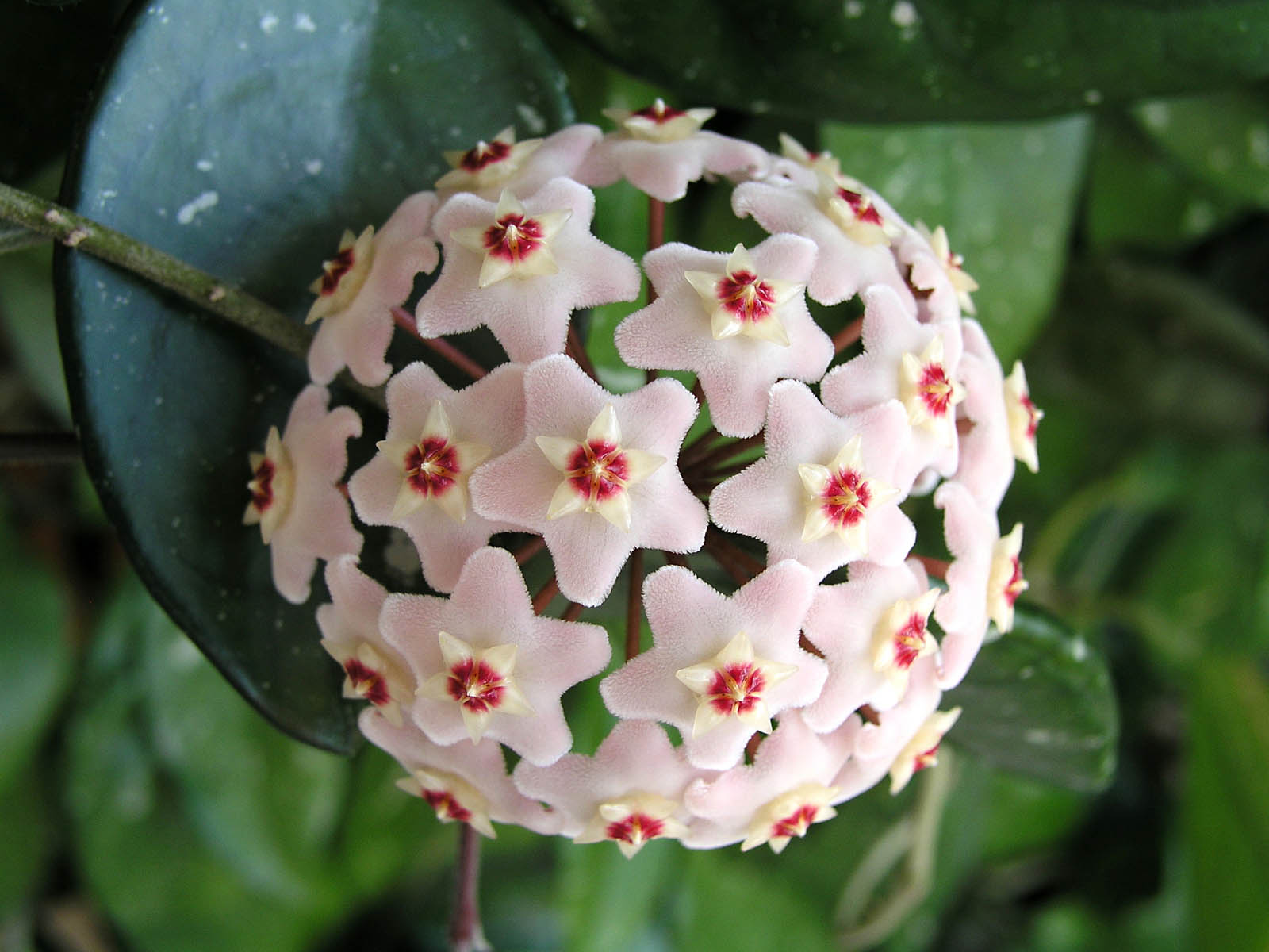цветы хойя фото
