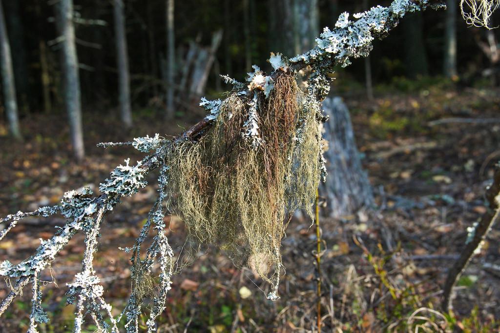 Лишайник в лесу