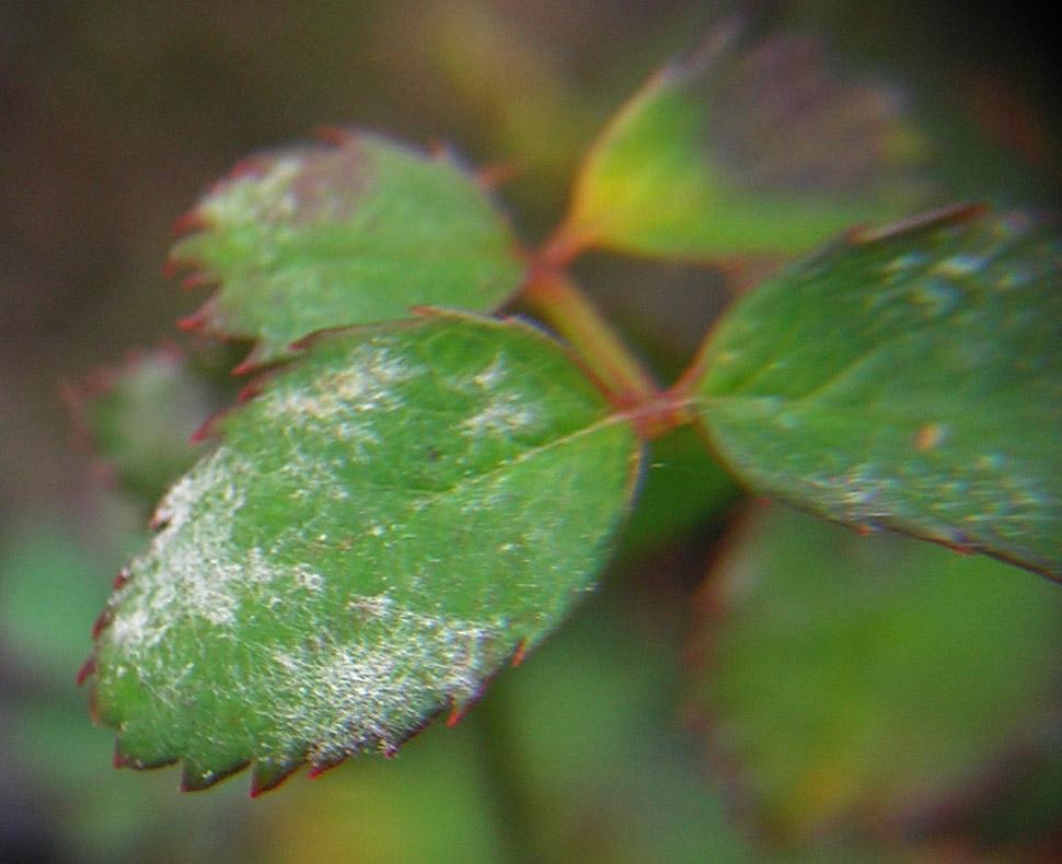 Заболевание мучнистая роса