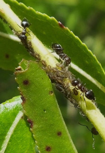 Черные муравьи охрана тли
