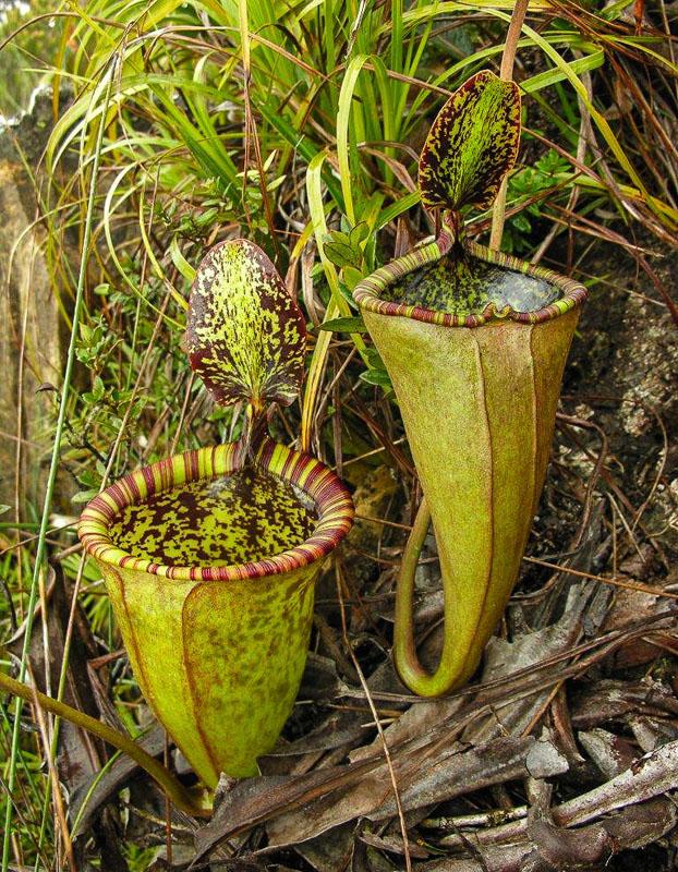 Непентес Аттенборо (Nepenthes attenboroughii)