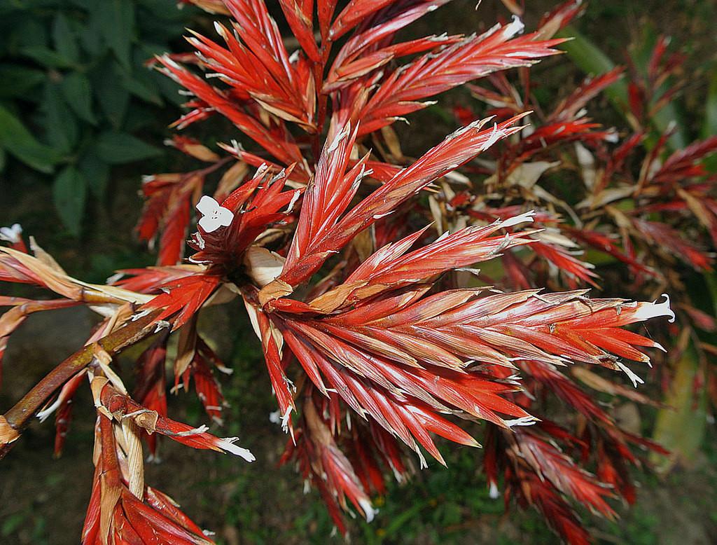 Растение вриезия