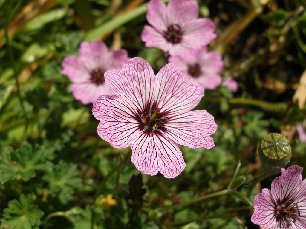 Герань садовая многолетняя сорта выращивание уход 61