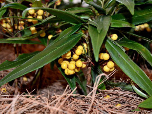 Ардизия курчавая (Ardisia crispa)