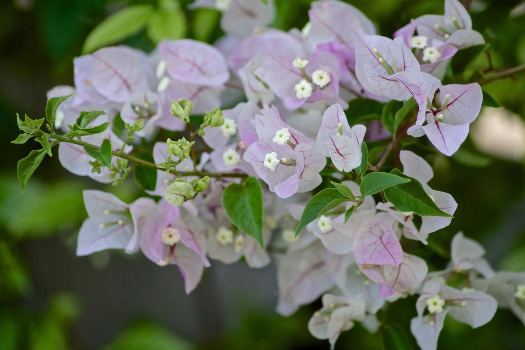 бугенвиллия фото цветов