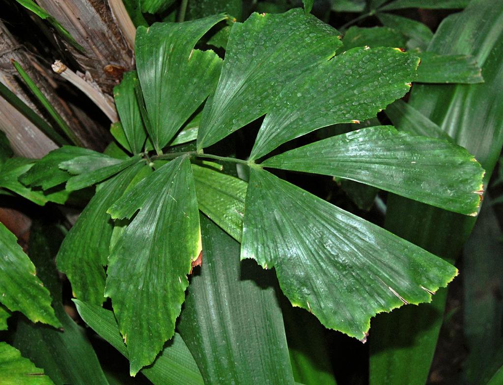 Цветок Кариота