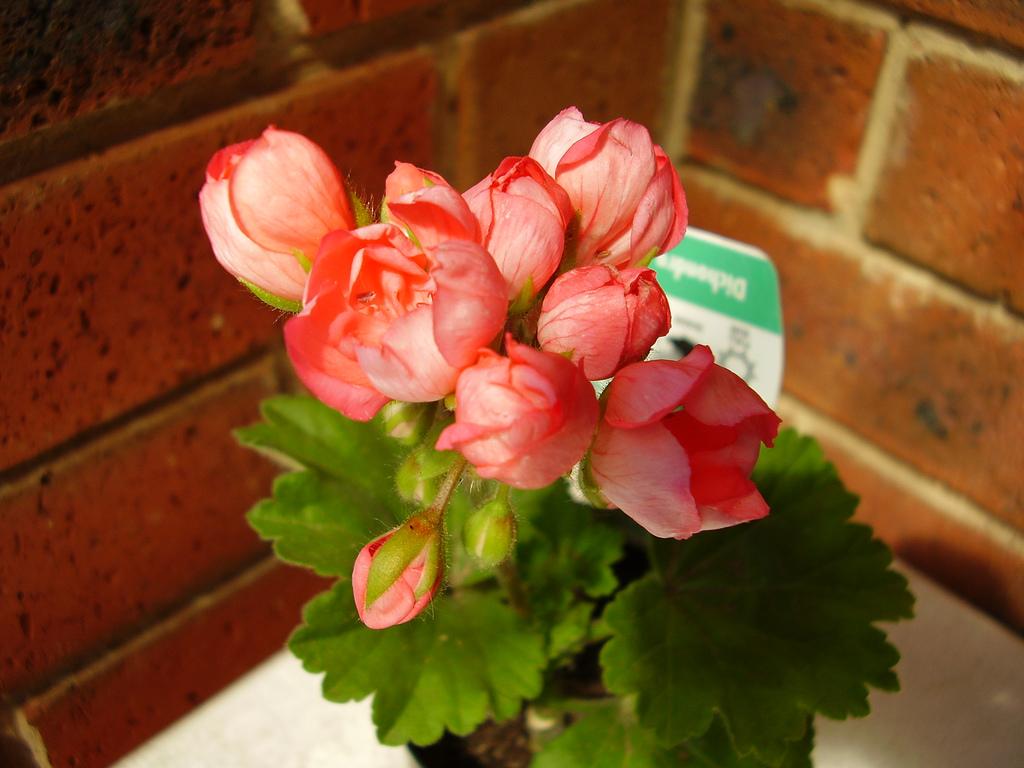 Пеларгония тюльпановидная фото