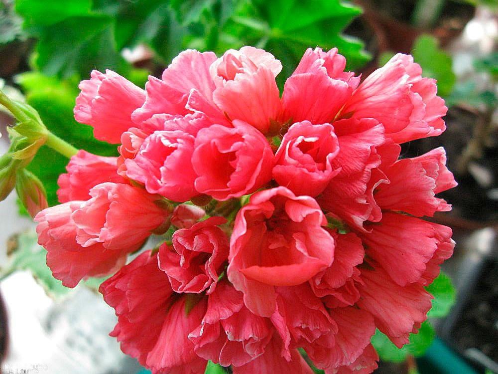 Тюльпановидная пеларгония фото