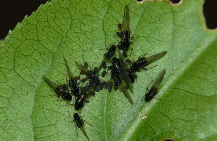 черные мошки в цветочных горшках