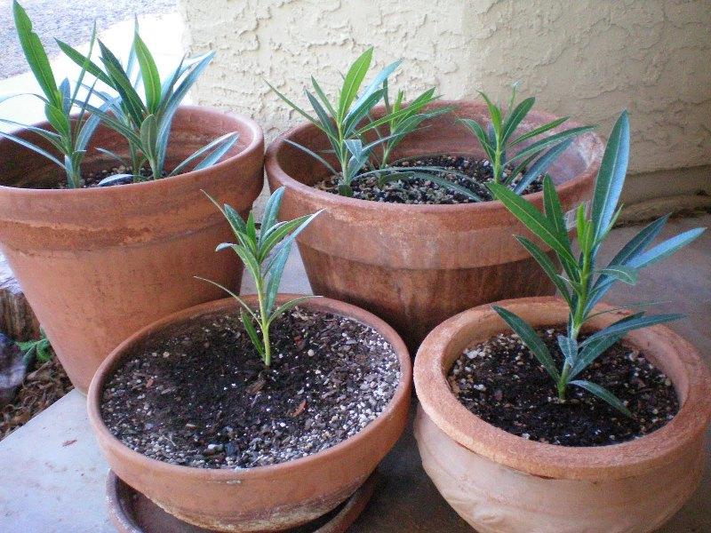 Олеандр выращивание и уход в домашних условиях  617