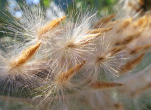 Семена олеандра