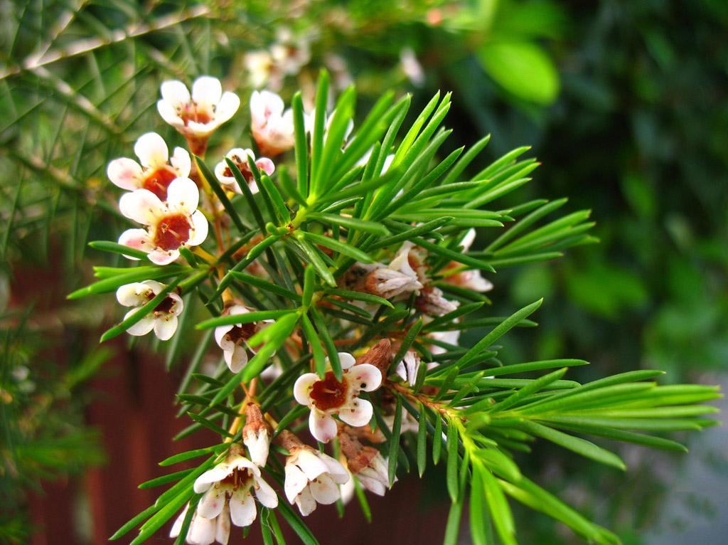 Хамелациум фото цветов