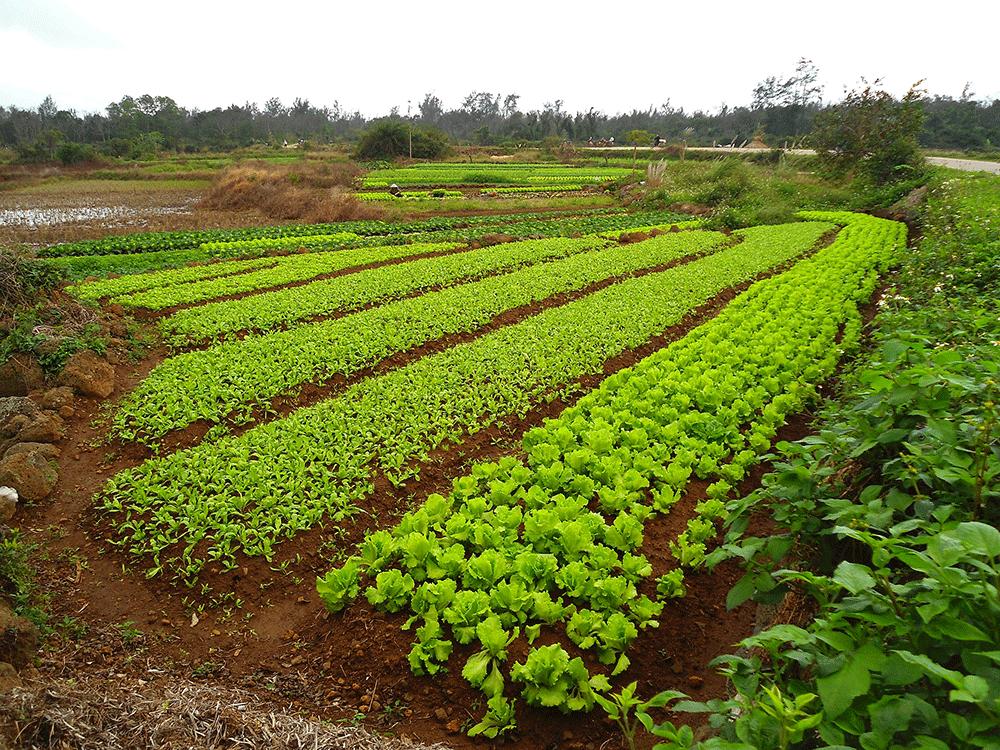удобрение почвы сидератами
