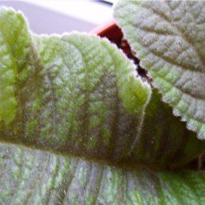 Листья глоксинии чернеют фото