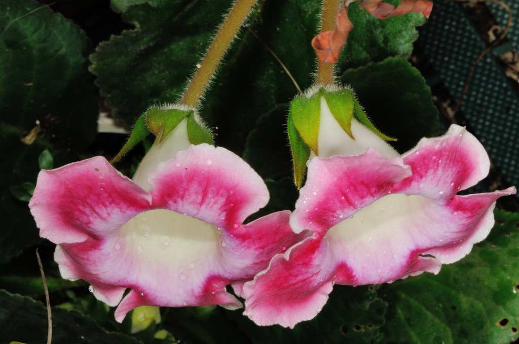 Цветок глоксиния в домашних условиях 192