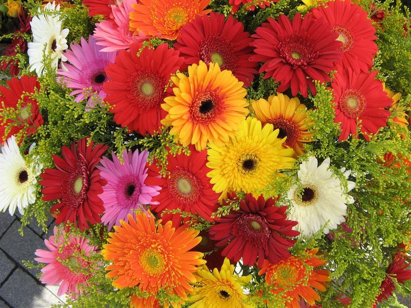 комнатный цветок гербера