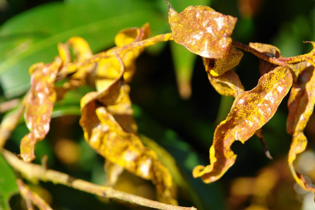 ржавчина на комнатных растениях