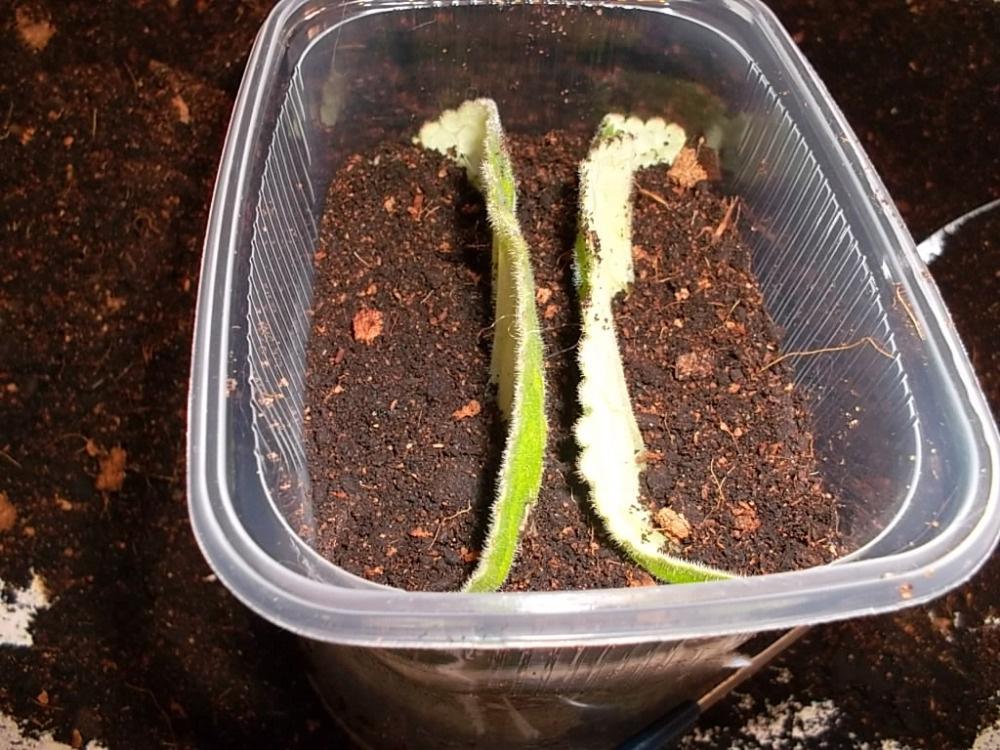 размножении глоксинии частью листа