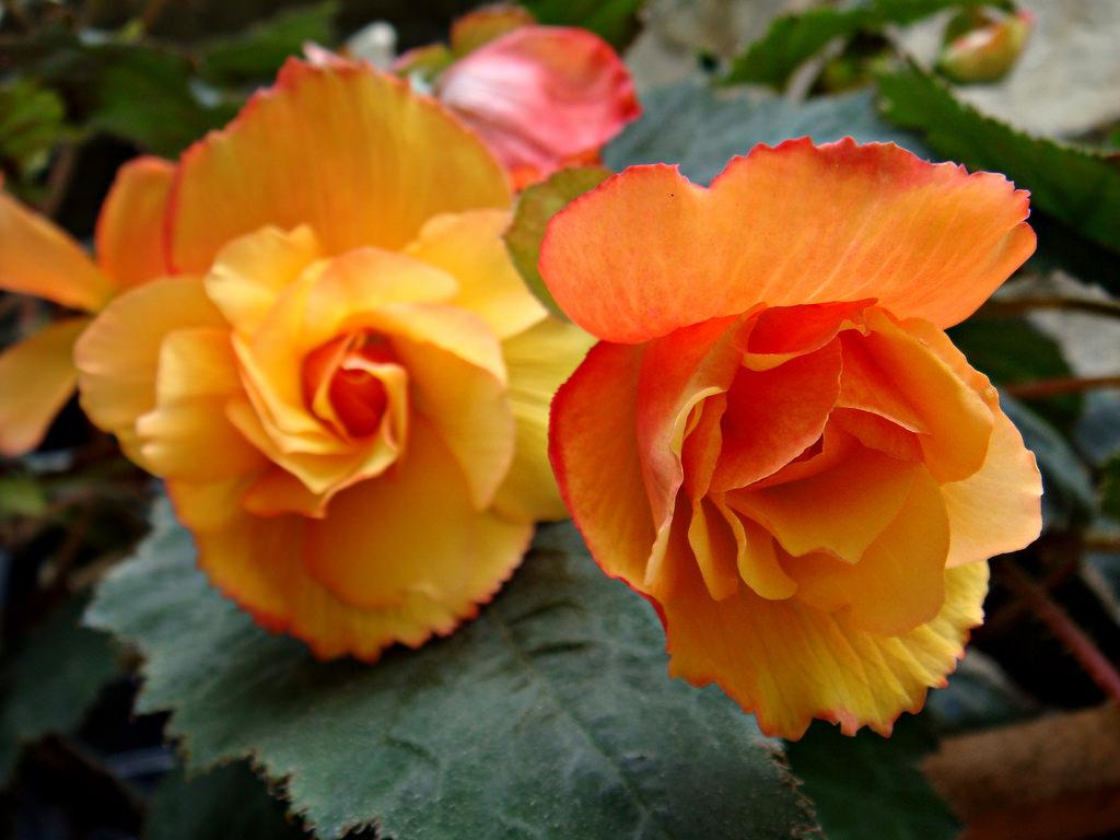 Цветок бегония их размножения