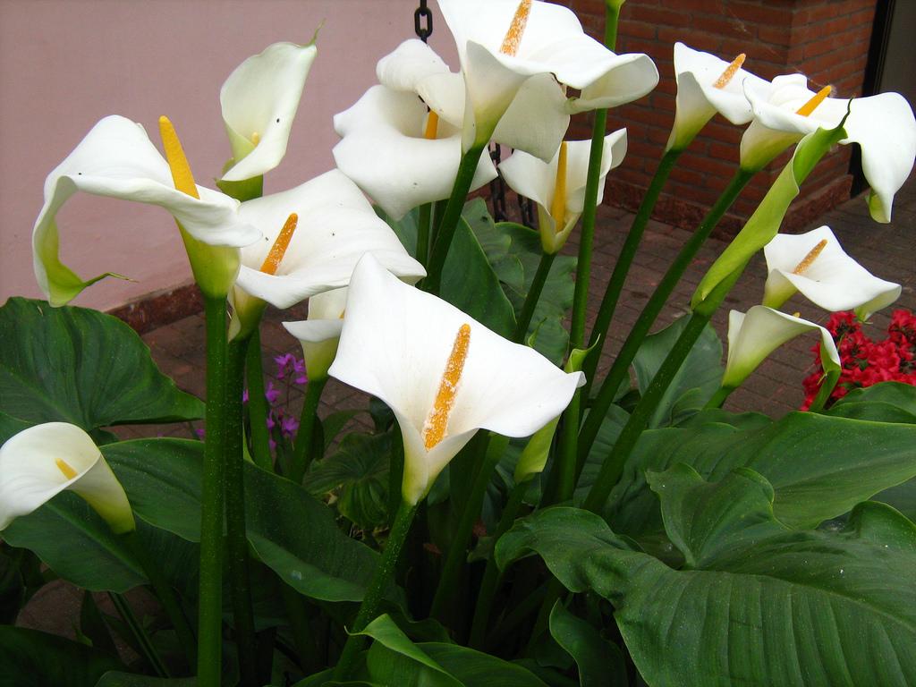 Цветы каллы уход за