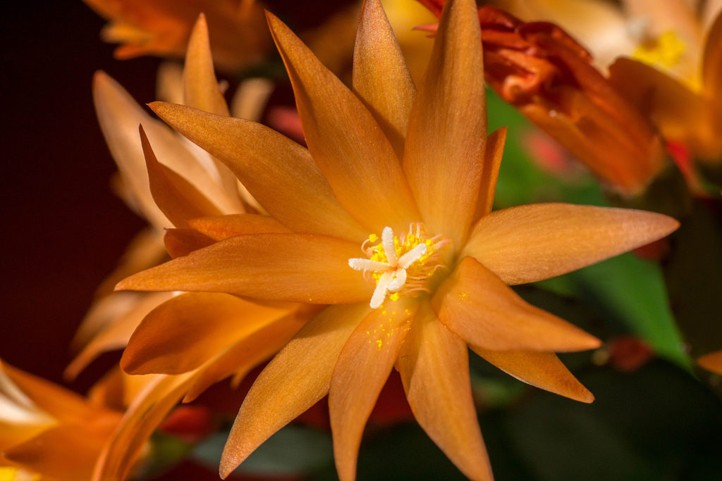 растение хатиора
