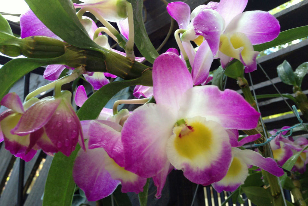 орхидея дендробиум фото