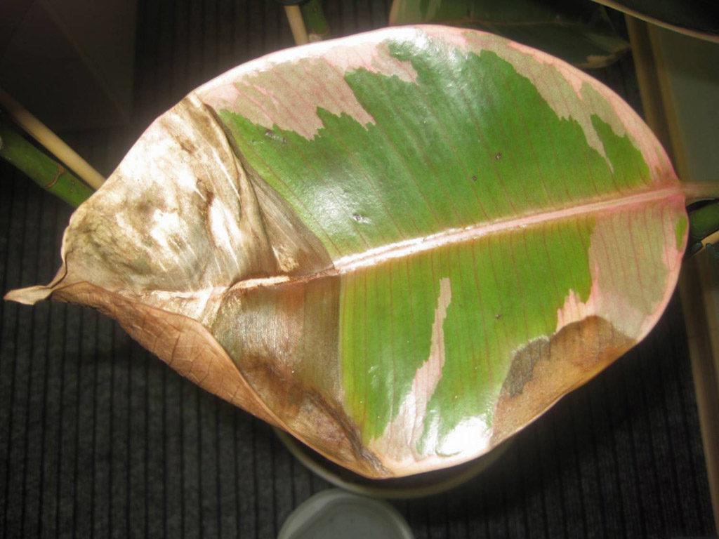 сухие листья фикуса