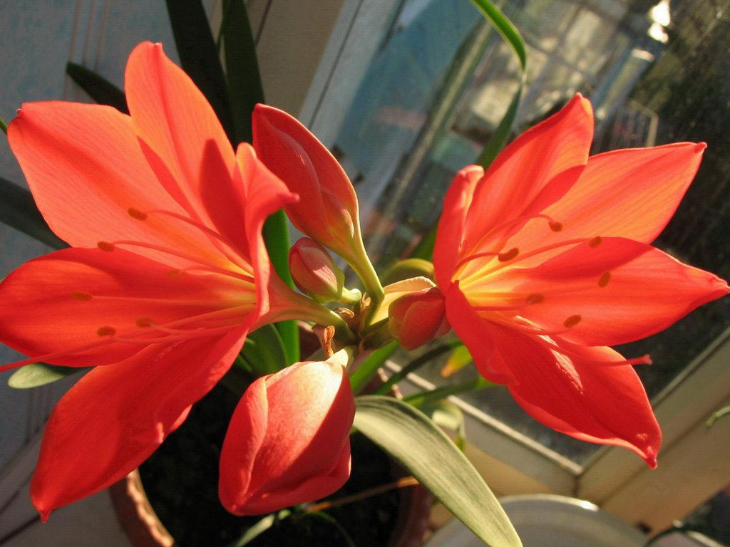комнатный цветок валлота