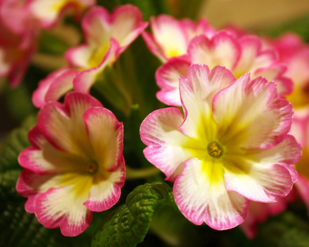 Какие цветы годеция