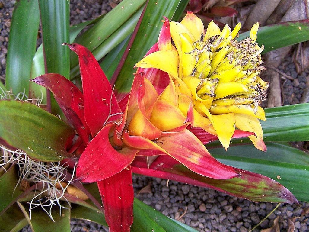 Комнатный цветок гузмания уход за ним