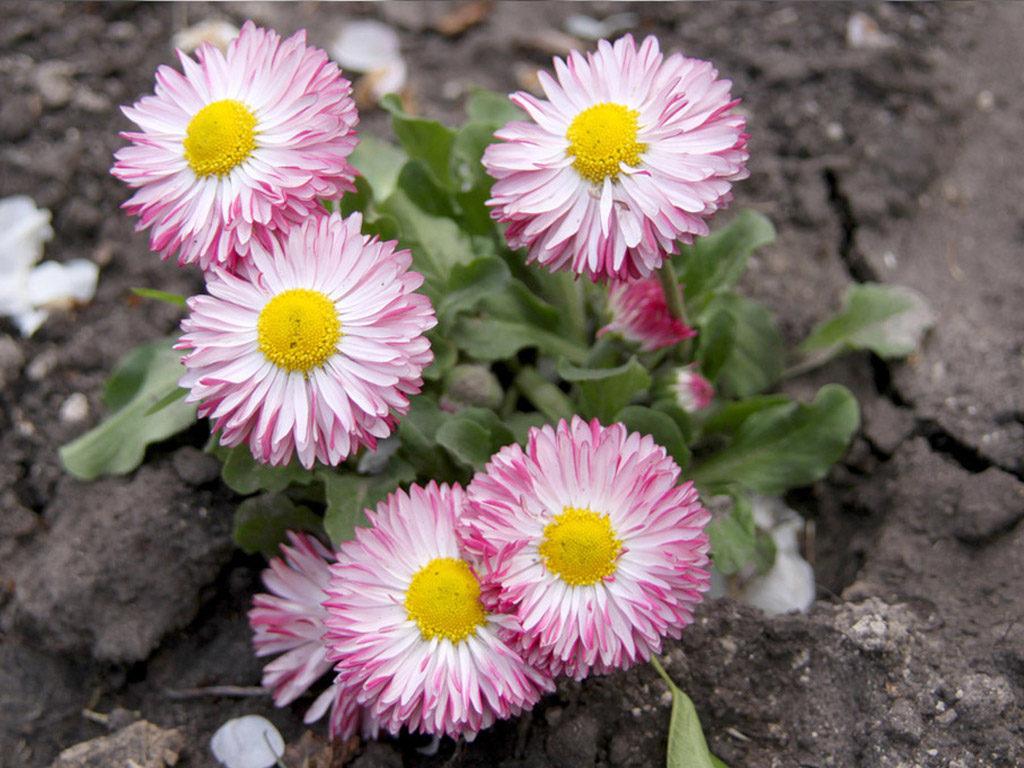 цветок маргаритка фото
