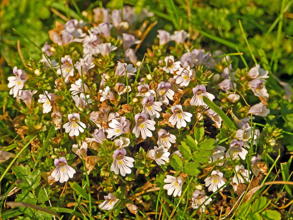 очанка трава фото
