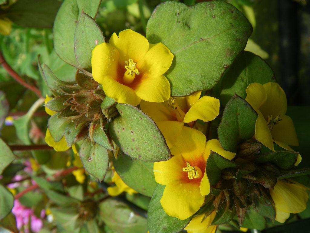 Вербейник скученноцветковый