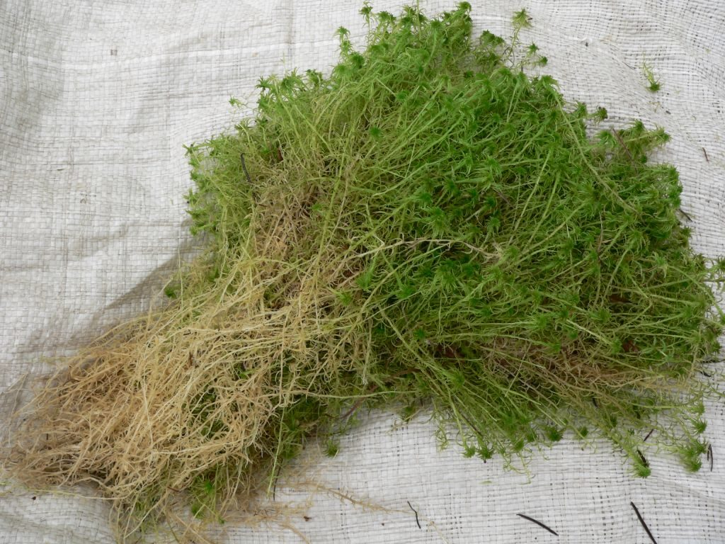 мох сфагнум для чего используют