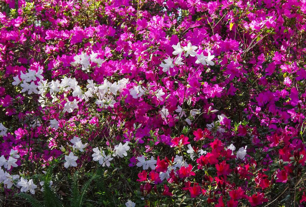азалии фото цветов