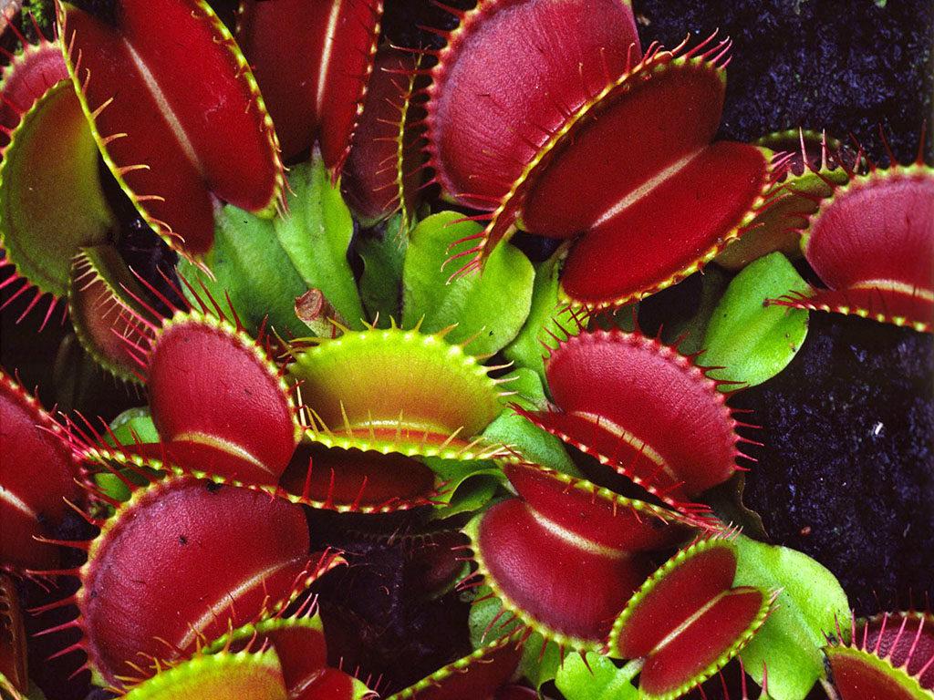 цветок хищник венерина мухоловка