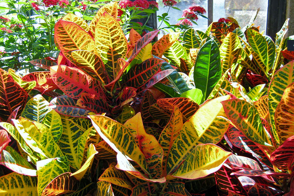 Уход за цветами в домашних условиях кротон