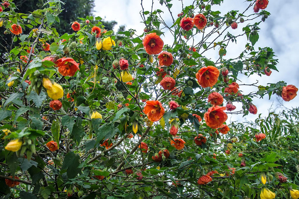 цветок абутилон фото