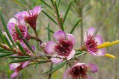 Chamelaucium uncinatum Upper Kimo Kula Maui