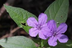 Rujellija Karolinskaja (Ruellia caroliniensis)